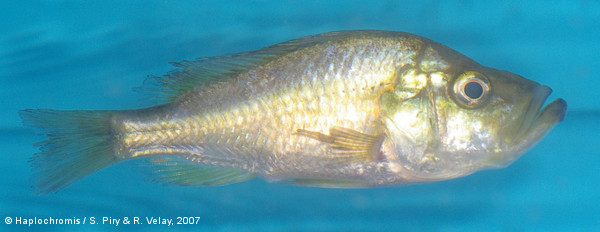 Pyxichromis orthostoma   (Regan, 1922) femelle