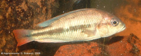 Haplochromis sp. red tail sheller mâle
