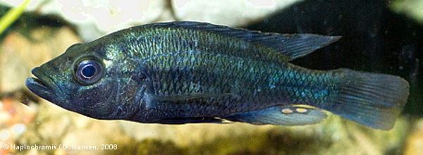 Haplochromis sp. golden duck mâle